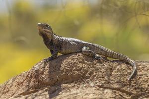 USA, Arizona, Sonoran Desert. Spiny-Tailed Iguana on Rock by Cathy & Gordon Illg