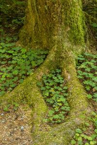 USA, California, Redwoods National Park. Clover at Tree Base by Cathy & Gordon Illg