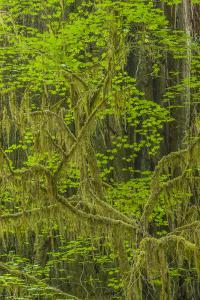 USA, California, Redwoods National Park. Mossy Limbs in Forest by Cathy & Gordon Illg