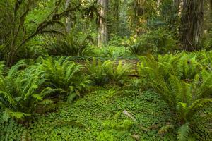 USA, California, Redwoods NP. Ferns and Mossy Trees in Forest by Cathy & Gordon Illg