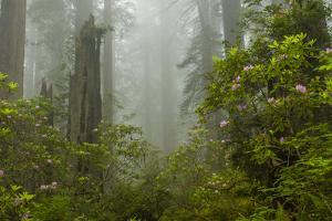 USA, California, Redwoods NP. Fog and Rhododendrons in Forest by Cathy & Gordon Illg