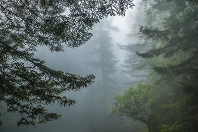 USA, California, Redwoods NP. Fog in Ladybird Johnson Grove