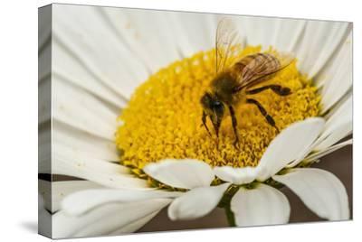USA, Colorado, Jefferson County. Honey Bee on Daisy Blossom