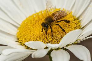 USA, Colorado, Jefferson County. Honey Bee on Daisy Blossom by Cathy & Gordon Illg