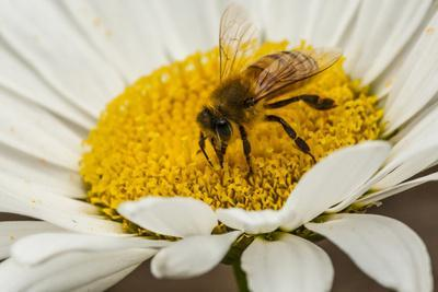 USA, Colorado, Jefferson County. Honey Bee on Daisy Blossom
