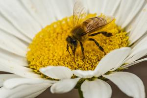 USA, Colorado, Jefferson County. Honey Bee on Daisy Blossom by Cathy & Gordon Illg