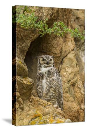 USA, Colorado, Larimer County. Great Horned Owl on Rocky Ledge