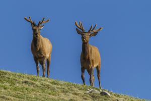 USA, Colorado, Rocky Mountain National Park. Bull Elks on Ridge by Cathy & Gordon Illg