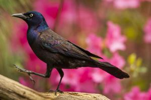 USA, North Carolina, Guilford County. Close-up of Common Grackle by Cathy & Gordon Illg