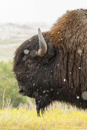USA, South Dakota, Custer State Park. Profile of Bison