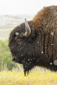 USA, South Dakota, Custer State Park. Profile of Bison by Cathy & Gordon Illg