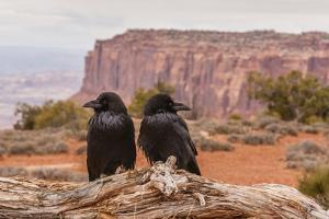 USA, Utah, Canyonlands National Park. Pair of Ravens on Log by Cathy & Gordon Illg