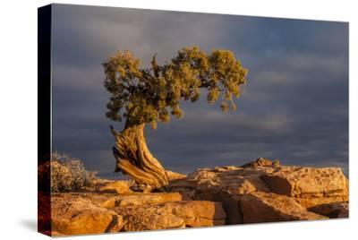 USA, Utah, Dead Horse Point State Park. Sunrise on Juniper Tree