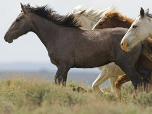 Wild Horses Running, Carbon County, Wyoming, USA by Cathy & Gordon Illg