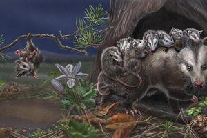 Baby On Board Spread 10 Opossum by Cathy Morrison Illustrates