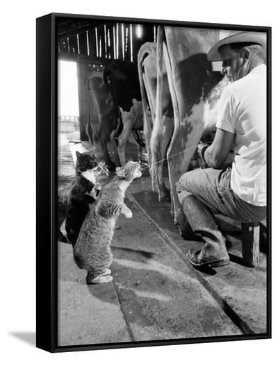 Cats Blackie and Brownie Catching Squirts of Milk During Milking at Arch Badertscher's Dairy Farm-Nat Farbman-Framed Canvas Print