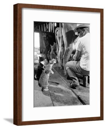 Cats Blackie and Brownie Catching Squirts of Milk During Milking at Arch Badertscher's Dairy Farm-Nat Farbman-Framed Premium Photographic Print