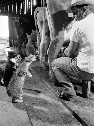 Cats Blackie and Brownie Catching Squirts of Milk During Milking at Arch Badertscher's Dairy Farm-Nat Farbman-Photographic Print