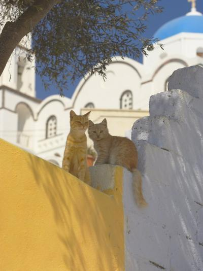 Cats in Akrotiri, Santorini, Cyclades, Greek Islands, Greece, Europe-Papadopoulos Sakis-Photographic Print