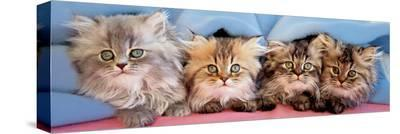 Cats Under Blanket--Stretched Canvas Print