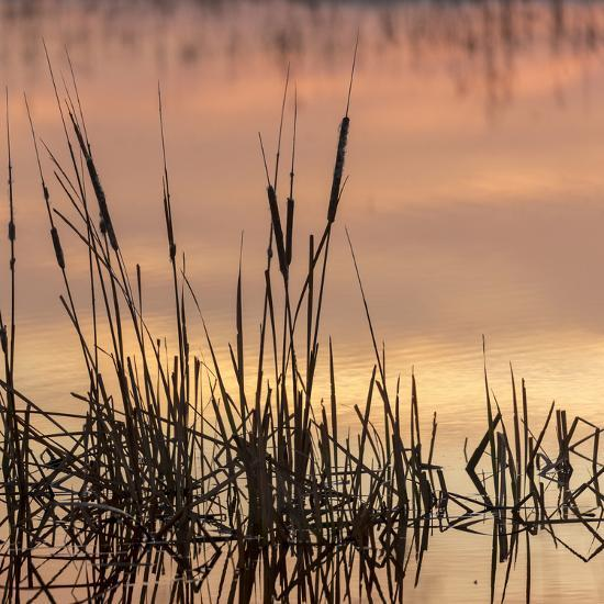 Cattails at sunrise, Bosque del Apache National Wildlife Refuge, New Mexico-Maresa Pryor-Photographic Print