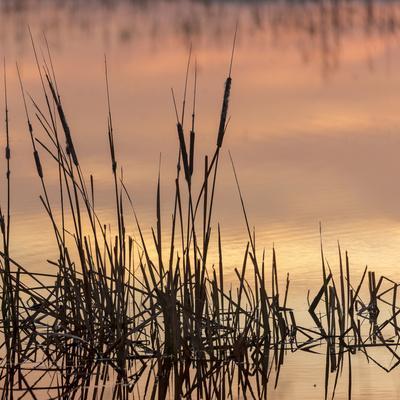 https://imgc.artprintimages.com/img/print/cattails-at-sunrise-bosque-del-apache-national-wildlife-refuge-new-mexico_u-l-q1gcs270.jpg?p=0