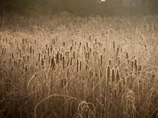 Cattails Going to Seed Among Golden Grasses-Heather Perry-Photographic Print