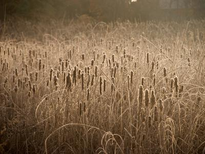 https://imgc.artprintimages.com/img/print/cattails-going-to-seed-among-golden-grasses_u-l-phtxpa0.jpg?p=0