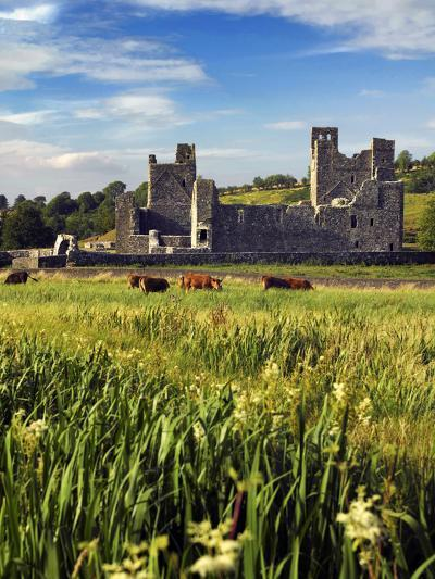 Cattle Amongst the Ruins of Fore Abbey in County Westmeath, Ireland-Chris Hill-Photographic Print