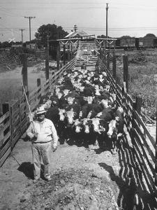 Cattle Being Herded by Farm Workers