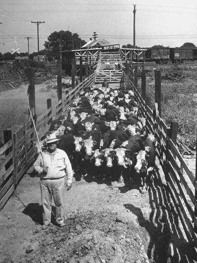 Cattle Being Herded by Farm Workers--Photographic Print