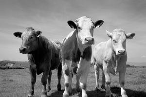 Cattle, County Waterford, Ireland