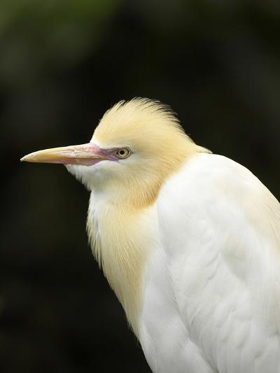 Cattle Egret (Ardea Ibis), North Queensland, Australia-David Wall-Photographic Print