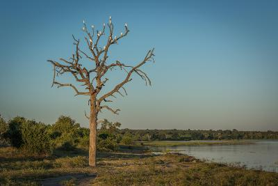 Cattle Egrets in Dead Tree Beside River-Nick Dale-Photographic Print
