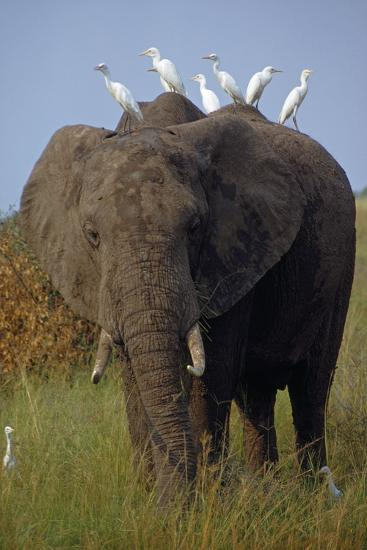 Cattle Egrets Perch Atop an Elephant Foraging in Grassland-George F^ Mobley-Photographic Print