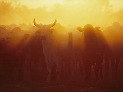 Cattle Gather at a Watering Hole at Sunset--Photographic Print