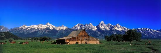 Cattle Gather Near Old Barn on Grand Teton Range in the Spring-Jeff Foott-Photographic Print