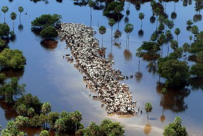 Cattle Gather on a Strip of Dry Land in Low-Lying Areas of the Bolivian Amazon-Martin Alipaz-Photographic Print