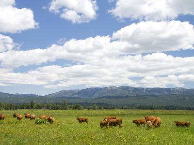 Cattle Graze in a Pasture Near Cascade, Idaho, Usa-David R^ Frazier-Photographic Print