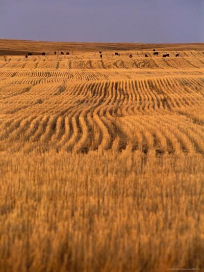 Cattle Graze Rows of Harvested, Dry-Farmed Wheat-Gordon Wiltsie-Photographic Print