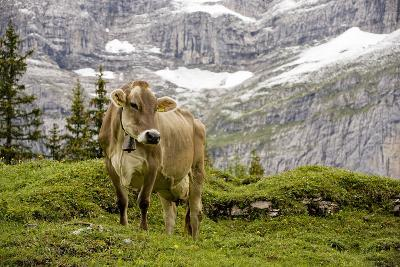 Cattle Grazing High in the Swiss Alps Near Wengen--Photographic Print