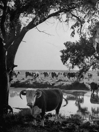 Cattle Grazing in a Pasture Near the Creek on the Ranch--Photographic Print