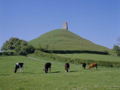 Cattle Grazing in Front of Glastonbury Tor, Glastonbury, Somerset, England, UK, Europe-Philip Craven-Photographic Print