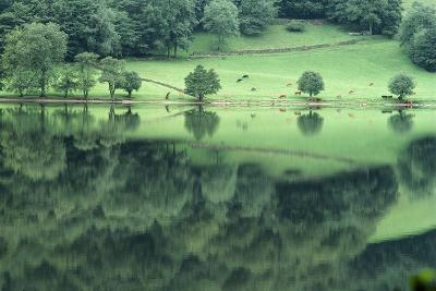 Cattle Grazing in Lake District-DLILLC-Photographic Print