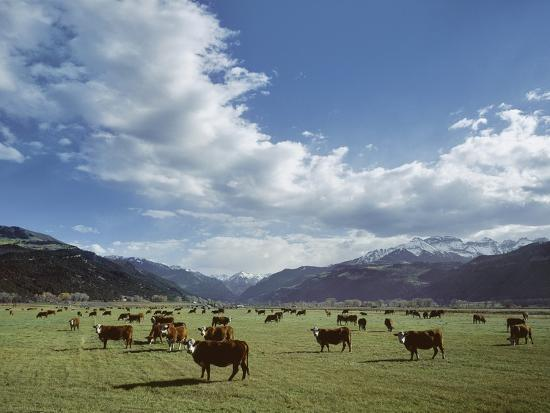 Cattle Grazing on Farmland--Photographic Print