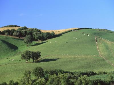 Cattle Grazing on Hillside-Owen Franken-Photographic Print