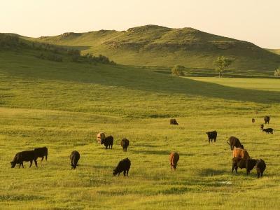 Cattle Grazing on the Hills Near Killdeer, North Dakota-Phil Schermeister-Photographic Print