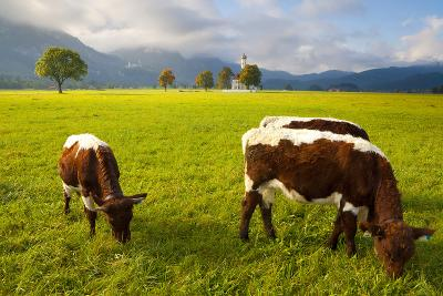 Cattle Grazing with Saint Koloman Church and Neuschwanstein Castle in the Background-Miles Ertman-Photographic Print