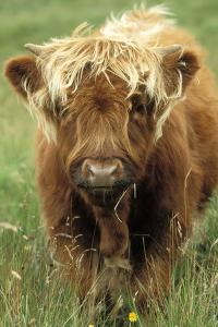 Cattle, Highland Calf