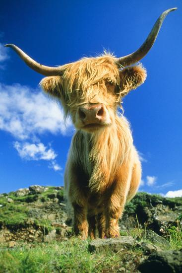 Cattle, Highland Cow--Photographic Print